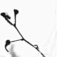 f60mm1:2.4 #3 ((Antonio Mariotti)) Tags: white black macro green fog fly xpro lawn 124 dew micro fujifilm nebbia rugiada prato bianco nero mosca bibbiena f60mm xpro1