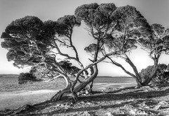 Twisted Trees, Lincoln National Park - Port Lincoln, South Australia [Explored] (Jacqui Barker) Tags: trees blackandwhite coast south australia lincolnnationalpark oldtrees portlincoln digitalcameraclub eyrepeninsula oldandbeautiful skancheli