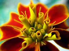 tagetes 2 (SS) Tags: camera light red italy orange flower macro colors beautiful yellow composition contrast canon photography countryside focus soft view angle pov perspective gimp powershot september framing fiore tones lazio blooming tagetes demotivation 2011 a480 fleursetpaysages