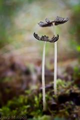 Coprinus plicatilis (JM Ripoll) Tags: forest mushrooms spain girona bosque fungus funghi pilze wald svamp mycology pilz champignons setas fong bosc foresta fungo bolets micologia mikologia onddo mycologie coprinusplicatilis coprinusdiseminatus pilzkunde foraoise santsadurnidososmort