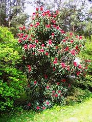 Telopea speciosissima, Waratah (AlfredSin) Tags: waratah redflower proteaceae telopea telopeaspeciosissima australianflowers as alfredsin waverleybushwalkingclub newsouthwalesfloralemblem
