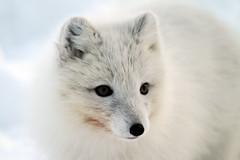 Artic Fox (Kiddi Einars) Tags: greenland fox grnland polarfox articfox grnland