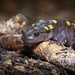 "Spotted Salamander (Ambystoma maculatum) • <a style=""font-size:0.8em;"" href=""http://www.flickr.com/photos/39798370@N00/8095097791/"" target=""_blank"">View on Flickr</a>"