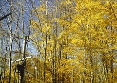 Yellow Fall Leaves (en tee gee) Tags: autumn trees newyork transformer pole nyseg 4kv