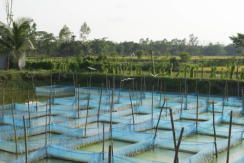 Global Hatchery, Sonaimuri, Noakhali, Bangladesh. Photo by Finn Thilsted, 2012.