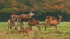 Stag & Hinds!!     (Red Deer) (marsch1962) Tags: autumn red nature stag wildlife breath antlers british reddeer nationalgeographic rut studley hinds nikon80400vr