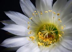 Confia (gabitayuz) Tags: hennysgardens flowerthequietbeauty momentoyahoo