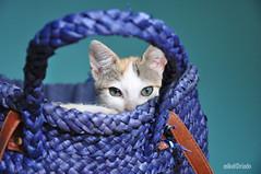 Toscana (mikelriado) Tags: blue light cats color colour luz azul cat eyes kitten expression kittens gatos gato gata gatito cesta