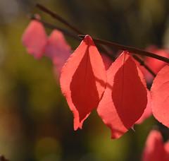 DSC_6698a (Fransois) Tags: autumn red fall leaves automne dof bokeh qubec laval feuilles rouges
