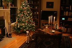 Milton Warming Himself By the Fire (marylea) Tags: christmas tree jrt christmastree dec terrier jackrussell milton 2010 dec27 parsonrussell