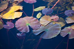 another autumn colors (peaceful-jp-scenery) Tags: autumn pond lotus sony    tamron lightroom amount   a001 hasuike   dslra900 900 spaf70200mmf28di