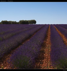 Lavender field (On Explore 2012-10-25 ... best rank #1... thank you all) (Arnaud D...) Tags: france flower color tree fleur square landscape purple champs lavender ciel provence paysage lavande arbre couleur valensole lavenderfield carre