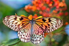 Blazing Butterfly (Bob Decker) Tags: macrolife
