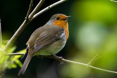 Sing along! (smir_001) Tags: park autumn england plants macro bird english robin birds closeup garden victoriapark bath erithacusrubecula erithacus feathers somerset victoria september canoneos7d