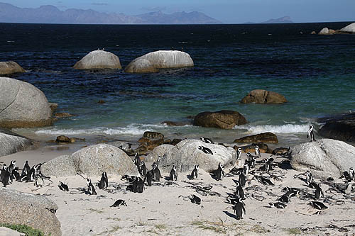 African Penguins-Boulders Beach-3