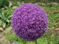 Allium Giganteum  (MRSY) Tags: flower japan ball geotagged purple  osaka    kawachinagano    geo:lat=3443476898767504 geo:lon=13555421747267246