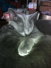 Blue Cats, don't bother me, (Just Katety) Tags: blue cats cat kitty kitties bluecat russianblue multiplecats russianbluecat cozycat