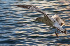 Le Goeland (Luc Deveault) Tags: canada cold bird automne quebec montreal sophie luc oiseau vieuxport oiseaux deveault lucdeveault