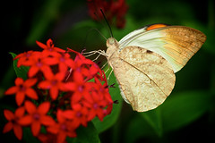 Great Orange Tip (klythawk) Tags: leica red orange brown white black macro green nature closeup butterfly insect dof sheffield olympus panasonic tropical 45mm omd tropicalbutterflyhouse em5 greatorangetip hebomoiaglaucippe klythawk