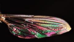 fly wing (kliton77) Tags: macro canon lens 28mm optical stack entomology macrophotography stacker jml canon500d zerene