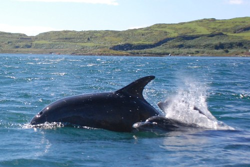 Bottlenose dolphins in Firth of Lorne
