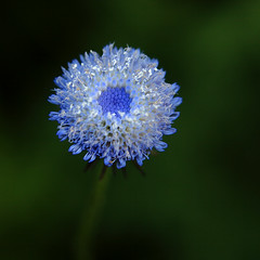 A Monday Jewel (AnyMotion) Tags: travel flowers blue macro floral colors square petals reisen southeastasia colours blossom burma ngc blumen npc myanmar blau makro wildflower blte birma bltenbltter fa farben birmanie kalaw wildblume makroaufnahmen anymotion 2013 900x900