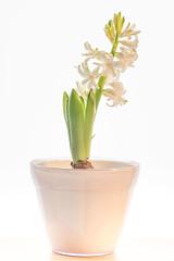Hyacinthus (gartenzaun2009) Tags: hyacinthus hyazinthe weis asparagaceae spargelgewchs