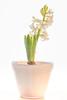 Hyacinthus (gartenzaun2009) Tags: hyacinthus hyazinthe weis asparagaceae spargelgewächs