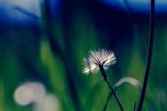 Tesoros escondidos en mi jardín V (ahenav) Tags: plant flower planta garden flor jardín explored ltytr1