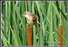 2752 - plain prinia (chandrasekaran a 560k + views .Thanks to visits) Tags: india nature birds canon plainprinia chenai sholinganallur powershotsx40hs