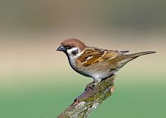 spuggy (markoh2011) Tags: wild tree bird mark yorkshire north sparrow hughes