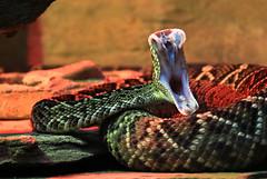 Eastern Diamondback Rattlesnake (Xuberant Noodle) Tags: zoo dangerous fierce snake teeth yawn strike fangs rattlesnake fang poisonous venomous venom