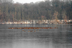 Birds gathering in open water (~~Nelly~~) Tags: winter ice birds belgium belgique hiver vogels belgi oiseaux glace canards ijs eenden hofstade