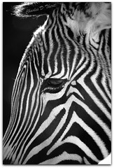 Grevy's Zebra (ctofcsco) Tags: blackandwhite bw usa white black classic nature monochrome animal animals america canon zoo colorado unitedstates wildlife pueblo explore telephoto zebra co northamerica 5d usm superzoom eos5d grevys specanimal f3556l 35350mm ef35350mm ef35350mmf3556lusm 5dclassic 5dmark1 5dmarki eos5dclassic allofnatureswildlifelevel1 rememberthatmomentlevel4 rememberthatmomentlevel1 sunrays5 rememberthatmomentlevel2 rememberthatmomentlevel3 photographyforrecreationbwclassic