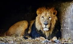 KiNG (ChrisJWake) Tags: wild cats london nature cat nikon wildlife tiger lion explore leopard f28 f4 d800 2013 d810 highqualityanimals d800e
