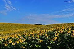 DSC_0019n wb (bwagnerfoto) Tags: napraforg tolna hills sunflower sonnenblume dombok dombsg flower blume virg nature outdoor plant yellow blue sky field tjkp landschaft landscape summer nyr zomba kty