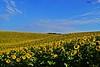 DSC_0019n wb (bwagnerfoto) Tags: napraforgó tolna hills sunflower sonnenblume dombok dombság flower blume virág nature outdoor plant yellow blue sky field tájkép landschaft landscape summer nyár zomba kéty