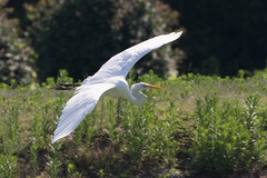 Great Egret in Flight-4 (Scott Alan McClurg) Tags: aalba ardea ardeidae algae animal back backyard bluesky flap flapping flight fly flying glide gliding glow greategret land landing life nature naturephotography neighborhood pond portrait sky summer sun wetlands white wild wildlife