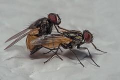 Pareja de moscas. Couple of flies. (Carlos Garca-Donas Fernndez) Tags: macro macrophotography macrofotografa moscas mosca fly flies tamron tamron90mm nikon nikond750