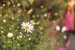 30/52 - Les marguerites (Nathalie Le Bris) Tags: marguerite daisy margarita nia fille child flor flower fleur bokeh