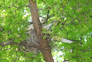 Dove family in nest IMG_3015