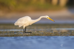 Great?? (santosh_shanmuga) Tags: great egret white wader shorebird wading bird birding aves wild wildlife nature animal outdoor outdoors nikon d810 500mm fl florida pinellas fort ft desoto ftdesoto