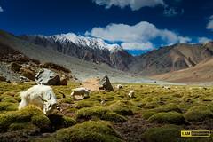 Alone (Boszanova_EK) Tags: leh ladakh landscape india inspiration pangong changla ixl nikon nikonphotographer iamnikon