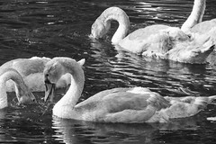 summer evening swans 04 (byronv2) Tags: kirkintilloch canal forthclydecanal marina glasgow scotland wildlife nature bird birds swan swans cygnet summer sunlight sunny sunshine blackwhite blackandwhite bw monochrome water