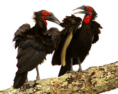 Southern Ground-hornbill - Bucorve du Sud (charbonjoh) Tags: southerngroundhornbill tanzania bucorvusleadbeateri bucorvedusud serengetinationalpark largebirds