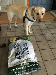 Calvin found his entire bag of food! (hero dogs) Tags: dog labrador cute therapydog servicedog