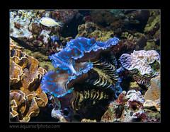 PDORmaxima4995 (kactusficus) Tags: aquarium captive marine reef fauna fish coral paris france palais portedore doree tropical tropicaux clam tridacna maxima blue bleu benitier