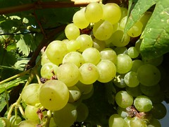 Oggi giornata importante... Esami di Maturit !     :( (carlo612001) Tags: uva esame di maturit food italianfood wine vino grapes esamedimaturit