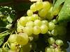 Oggi giornata importante... Esami di Maturità !     :( (carlo612001) Tags: uva esame di maturità food italianfood wine vino grapes esamedimaturità