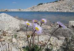 Lost Lake asters (Jeff Goddard 32) Tags: sierranevadamountains highsierra northlakebackcountry inyocounty california aster wildflowers